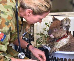 TV-actie voor de koala's in Australië