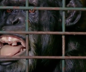 Videosnack: Aap Rosie heeft de pest aan dierenarts