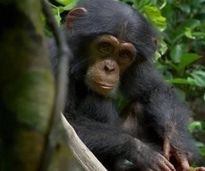 Disney Plus-tip: Chimpanzee