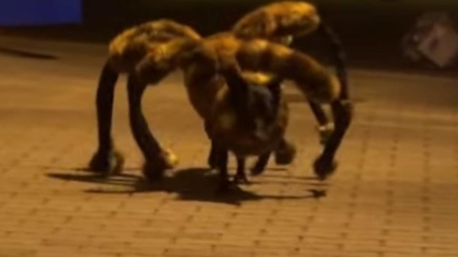 YouTube-hit: hond in spinnenpak jaagt voorbijgangers stuipen op het lijf