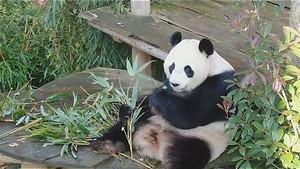 Pandajong in Ouwehands Dierenpark