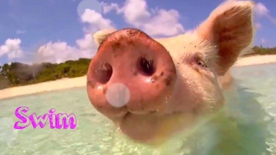 YouTube-hit: schattige biggetjes zwemmen in zee