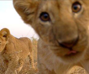 De TV van gisteren: Serengeti-leeuwen geen match voor The Voice