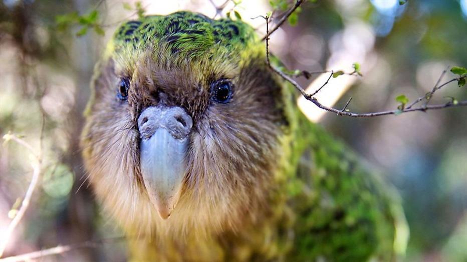Laatste kans voor kakapo in Wild New Zealand